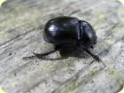 Prächtiger Käfer